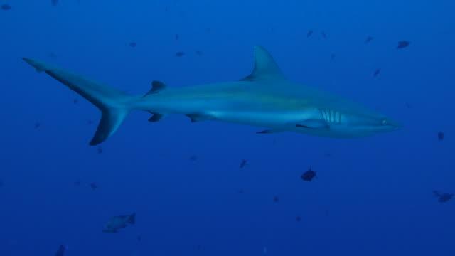 gray reef shark swimming in undersea reef - grey reef shark stock videos & royalty-free footage