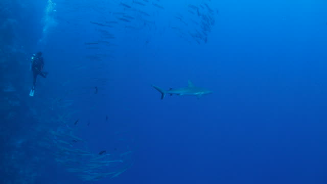 gray reef shark tracing barracuda fish - barracuda stock videos & royalty-free footage