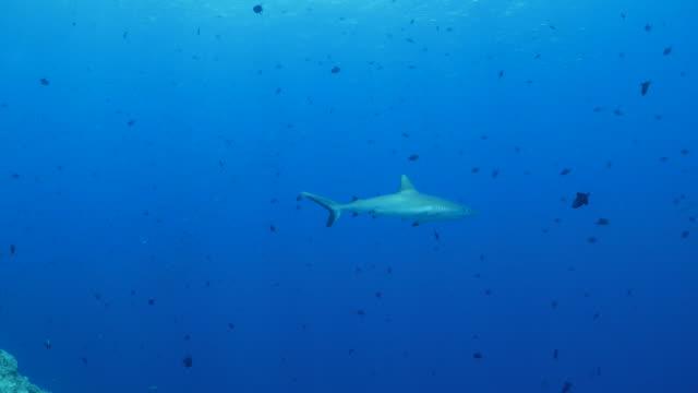 gray reef shark - grey reef shark stock videos & royalty-free footage