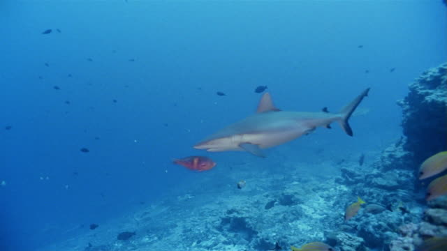 ms, gray reef sharks swimming among fishes - grey reef shark stock videos & royalty-free footage