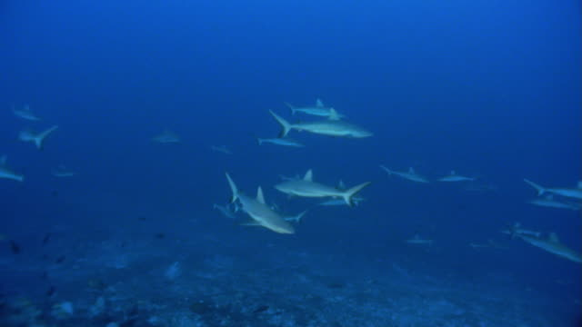 ms, gray reef sharks swimming in ocean - grey reef shark stock videos & royalty-free footage