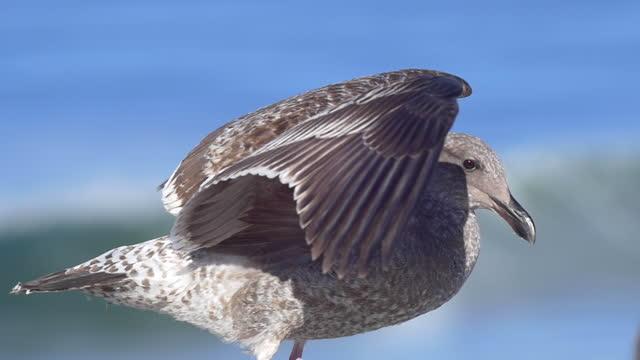 vídeos de stock e filmes b-roll de a gray seagull rests near the pacific ocean. - slow motion - animals in the wild