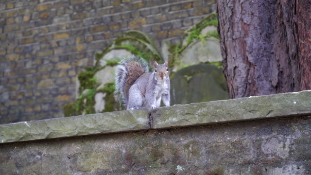 gray squirrel on the stone wall - natural parkland stock videos & royalty-free footage