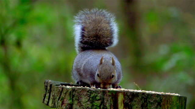 gray squirrel - squirrel stock videos and b-roll footage