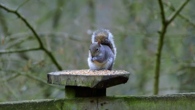 gray squirrel - 英国スカーブラ点の映像素材/bロール