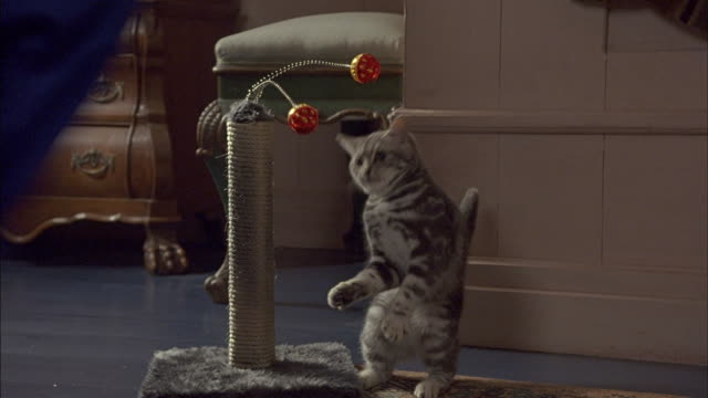 A gray tabby cat plays with a cat toy.