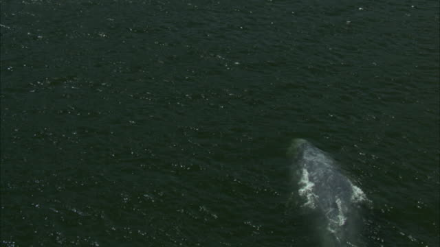 a gray whale gently flips its flukes near the surface of the ocean. - tail fin stock videos & royalty-free footage