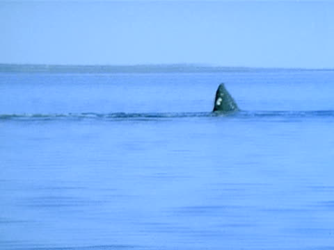 gray whale rolling on side underwater, raising pectoral fin. - fin whale stock videos & royalty-free footage