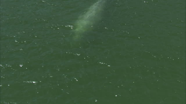 a gray whale swims lazily just below the surface of green-tinged ocean water. - cetacea stock videos & royalty-free footage