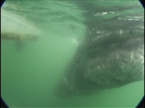 vidéos et rushes de a gray whale swims underwater near a boat. - péninsule de basse californie