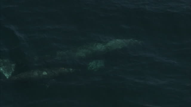gray whales cavort and blow water in a cold ocean. - tail fin stock videos & royalty-free footage