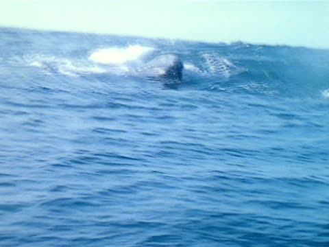 vídeos de stock e filmes b-roll de gray whales in pacific ocean, flukes moving up, back into water, arched whale backs above water. - cetáceo