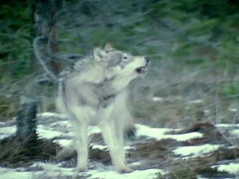 Gray Wolf baying TRACKING walking to exposed meat carcass on snowcovered ground