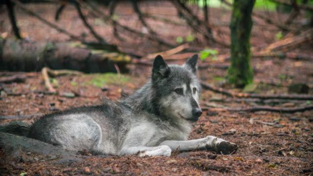 Gray Wolf in den Wald