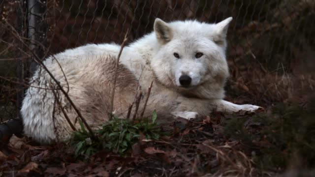 stockvideo's en b-roll-footage met ms a gray wolf rests in its enclosure at the national zoo washington dc february 21 2014 - omsloten ruimte