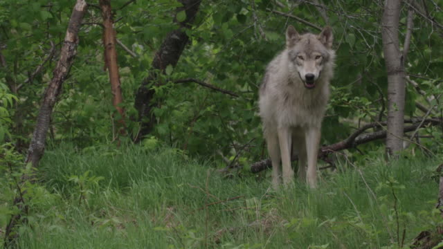 gray wolf walks out of forest and looks around - wolf stock videos & royalty-free footage