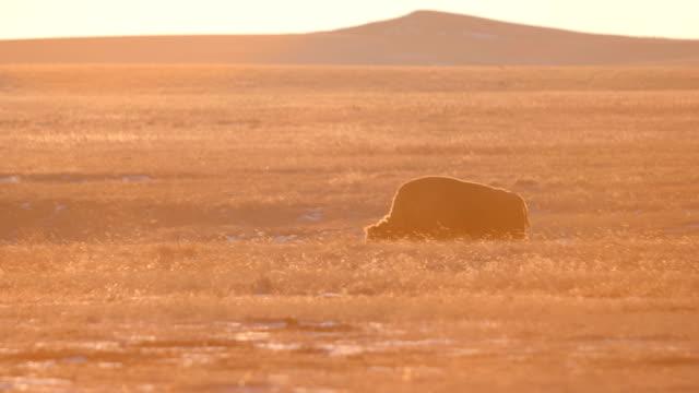 stockvideo's en b-roll-footage met grazende bison - montana westelijke verenigde staten