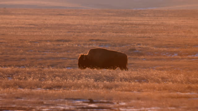 grazing bison - great plains stock videos & royalty-free footage