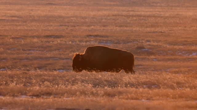 Grazing Bison