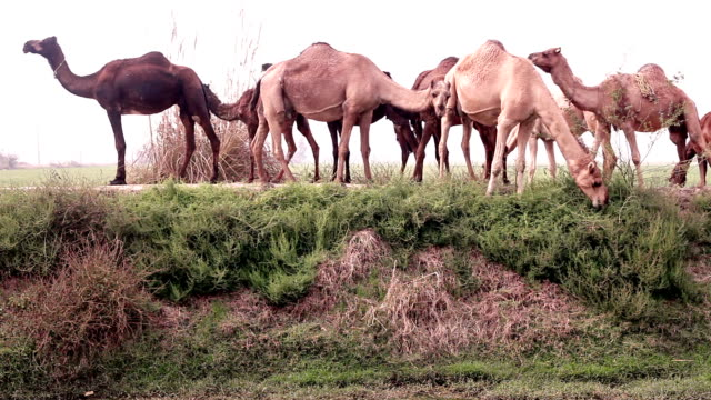 grazing camel in the nature - convoy stock videos and b-roll footage