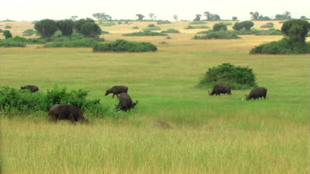 grazing cape buffalo - herbivorous stock videos & royalty-free footage