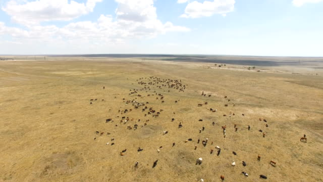 aerial: grazing cattle on ranch pastures - livestock stock videos and b-roll footage