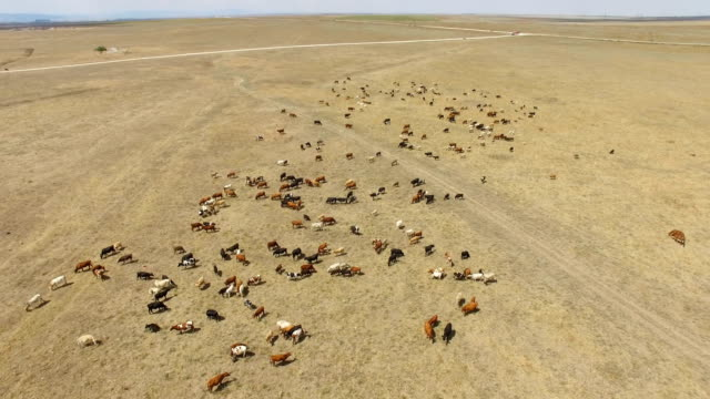 aerial: grazing cattle on ranch pastures - prairie stock videos & royalty-free footage