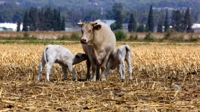 grazing charolais cattle - eyal bartov stock videos and b-roll footage