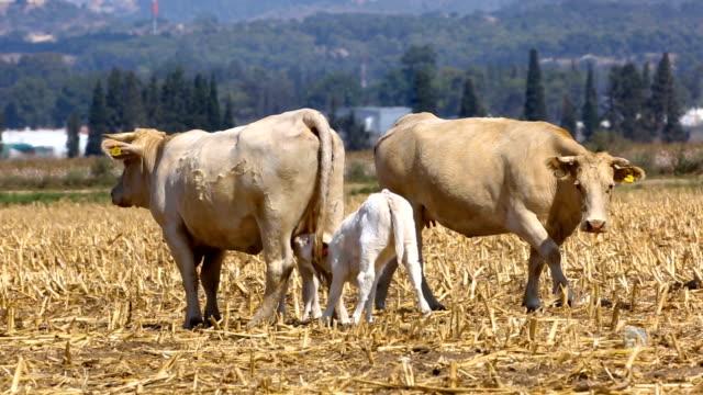 vídeos de stock, filmes e b-roll de grazing charolais cattle - grupo pequeno de animais