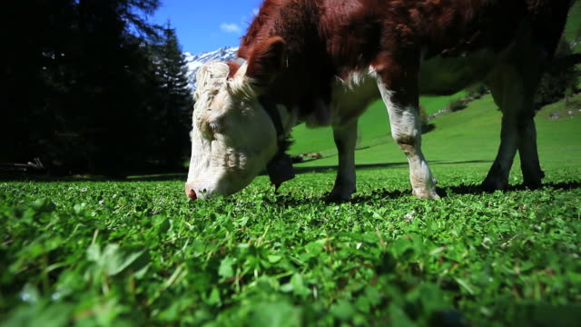stockvideo's en b-roll-footage met grazing cow hand-held shot - wiese
