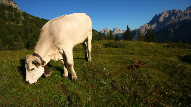 HD Grazing Cow on High Mountain Pasture