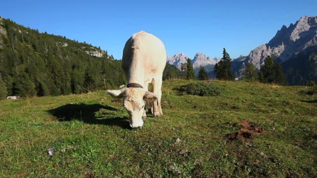 hd mucca al pascolo sul pascolo alta montagna - pascolare video stock e b–roll