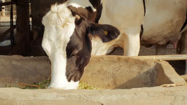 Pascolare di mucca