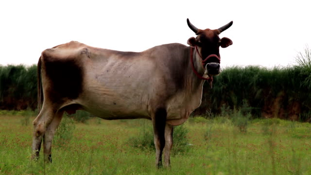 grazing cow - haryana stock videos & royalty-free footage