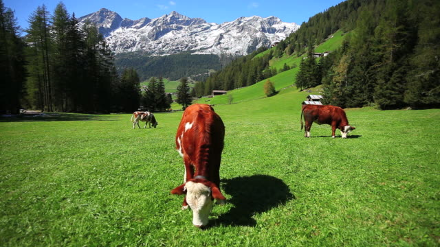 grazing cows in high mountain landscape - herbst stock videos & royalty-free footage