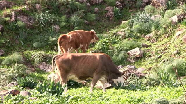 grazing cows on green carmel mt. - eyal bartov stock videos and b-roll footage