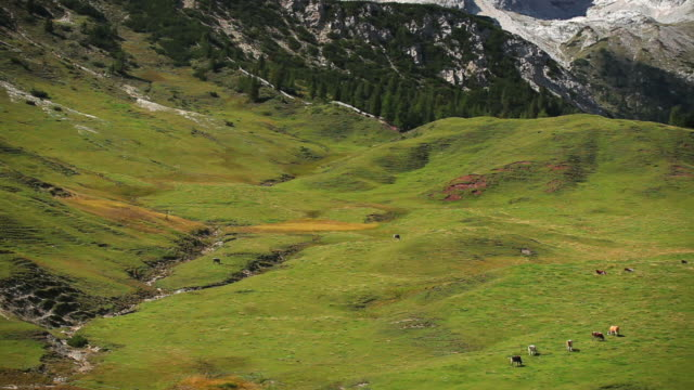 HD Grazing Cows on High Mountain Pasture PAN