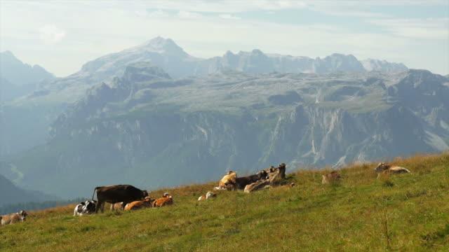 vídeos y material grabado en eventos de stock de hd de pastoreo vacas en high mountain pasture - alto adigio