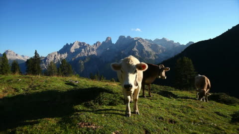 hd grazing cows on high mountain pasture - grazing stock videos & royalty-free footage