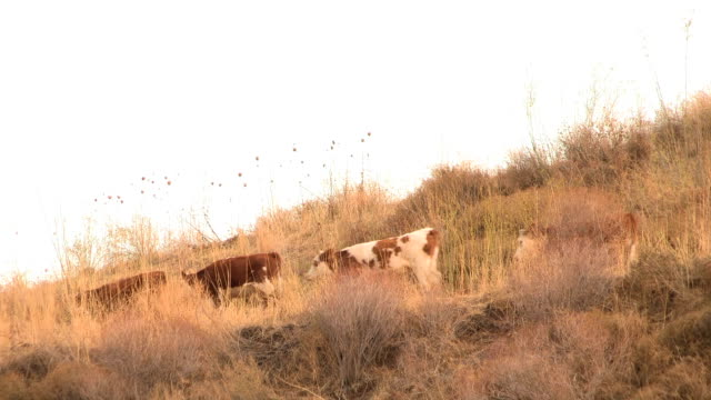 grazing cows - dry stock videos and b-roll footage