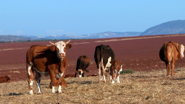 grazing cows - eyal bartov stock videos and b-roll footage