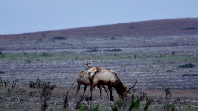 grazing elk - herding stock videos & royalty-free footage