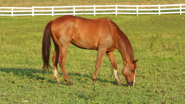 grazing horse - stallion stock videos & royalty-free footage