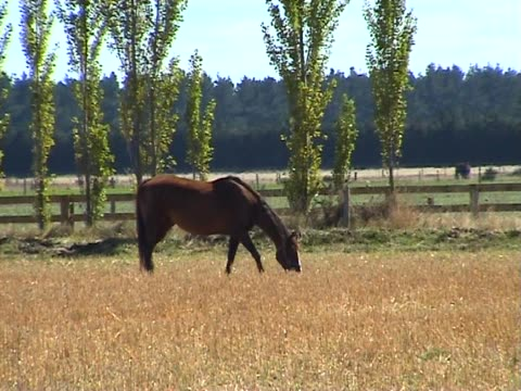PAL: Pferd beim Grasen