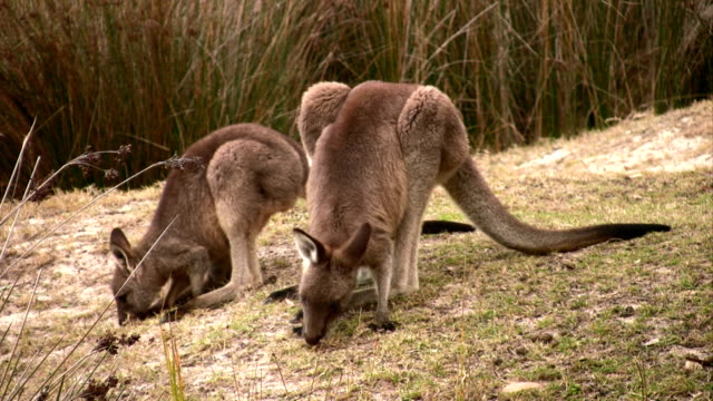vídeos de stock e filmes b-roll de pastar canguru - parte do corpo animal