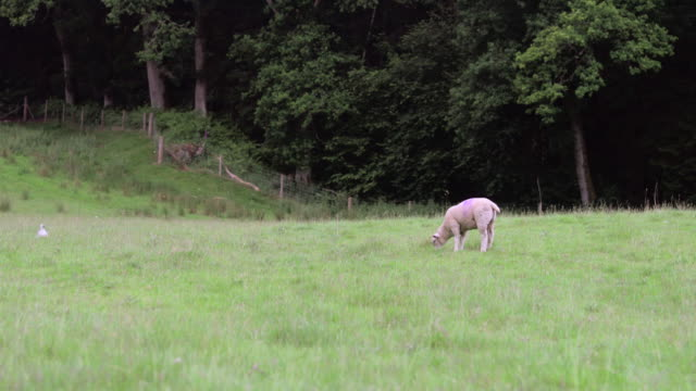 grazing lamb - sheep stock videos & royalty-free footage