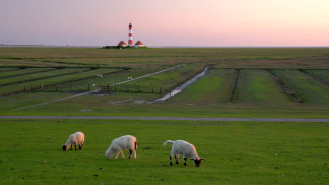 grazing lambs at dusk - schleswig holstein stock videos & royalty-free footage