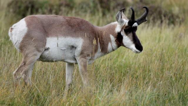 プロングホーン ラマー谷イエローストーン国立公園ワイオミング州を放牧 - プロングホーン点の映像素材/bロール