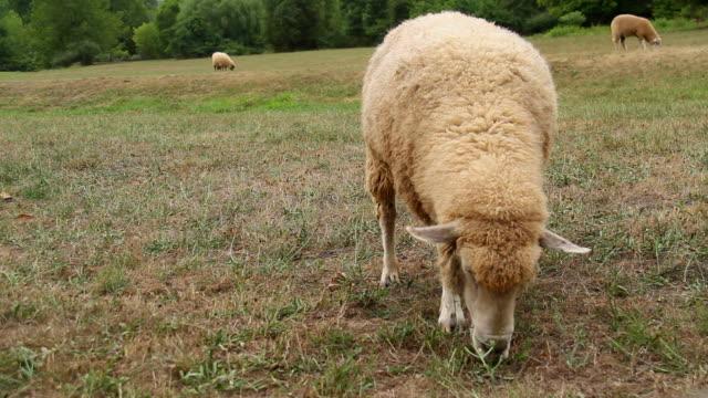 vidéos et rushes de brouter moutons gros plan - mouton