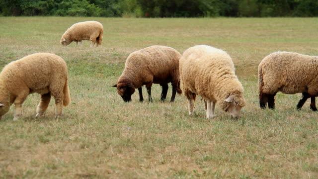 grazing sheep - djurbeteende bildbanksvideor och videomaterial från bakom kulisserna